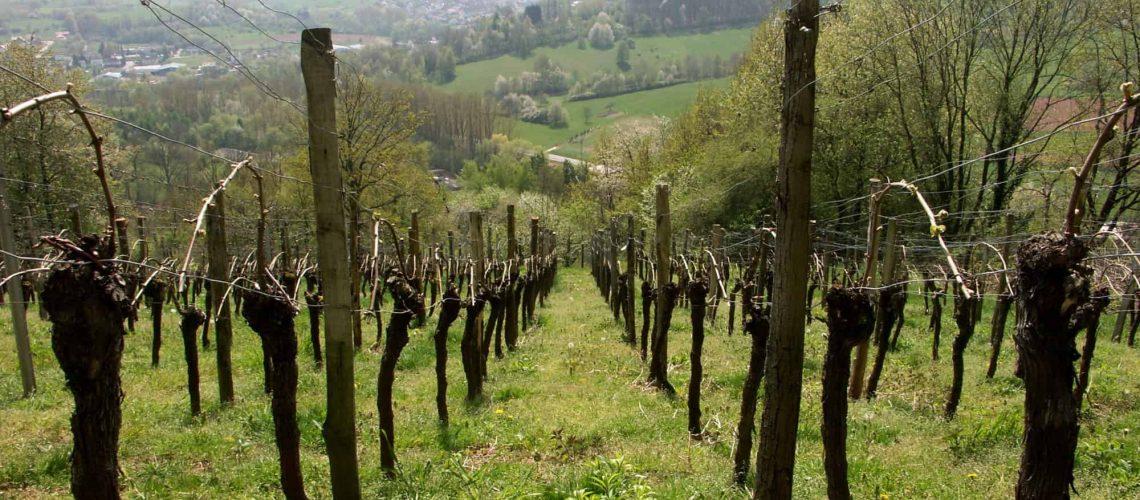 Vinodling i Pfalz